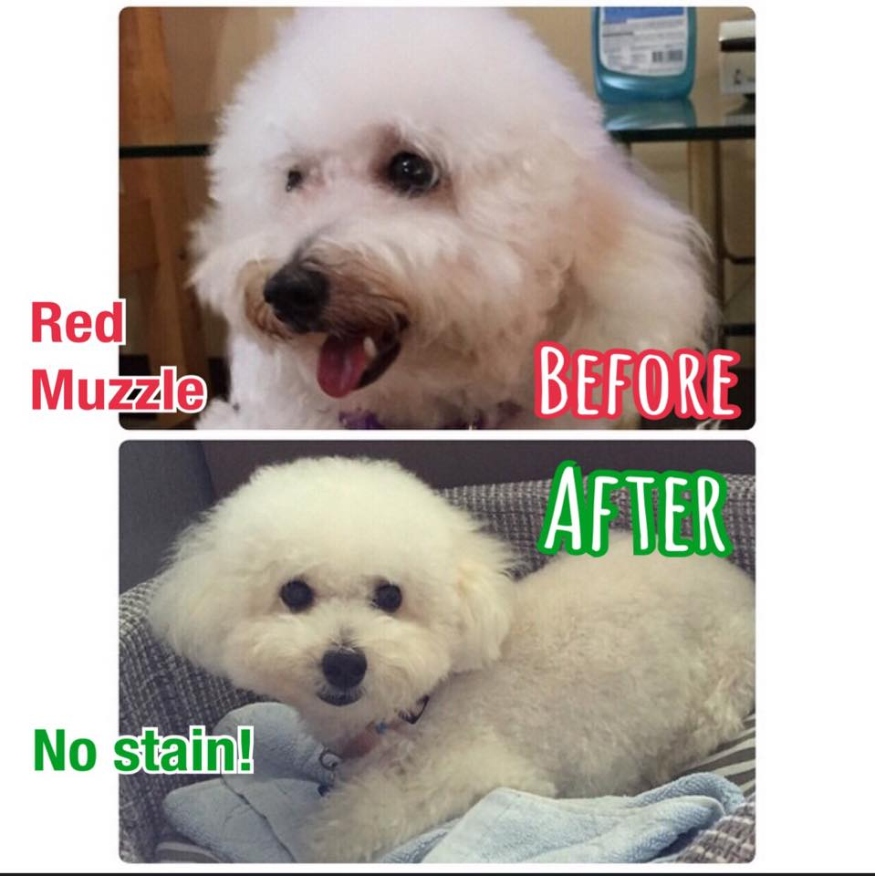 Red muzzle in white poodle solved by silky dog shampoo