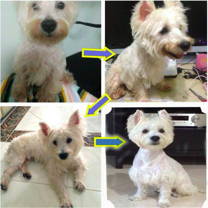 westie red paws and mouth stain can be gone in 2 months