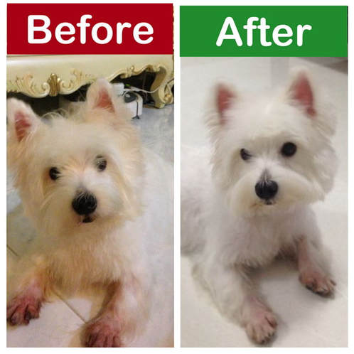 west highland terrier westie skin problems difference