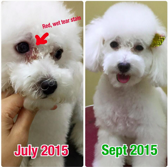 white poodle tear stain near the eyes are gone